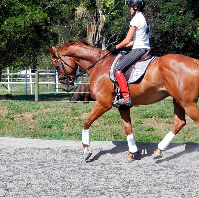 Sally Evans Dressage Stables, Kevin, TB for sale