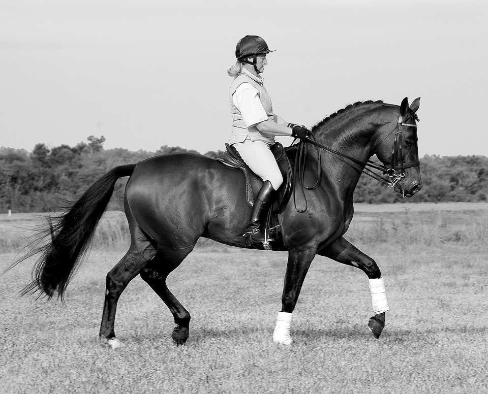 Warmblood stallion A'Seduction 8 yrs old at Advanced level in collected trot