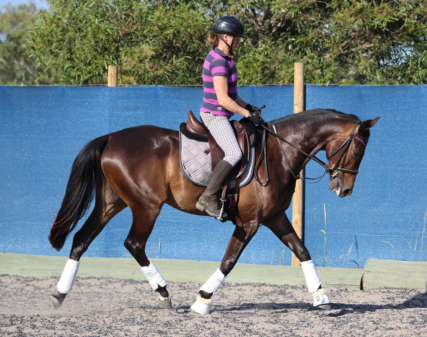 Winni (ASpannerintheworks) by A'Seduction warmblood Grand Prix stallion, for sale